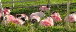 Irish Sheep Grazing